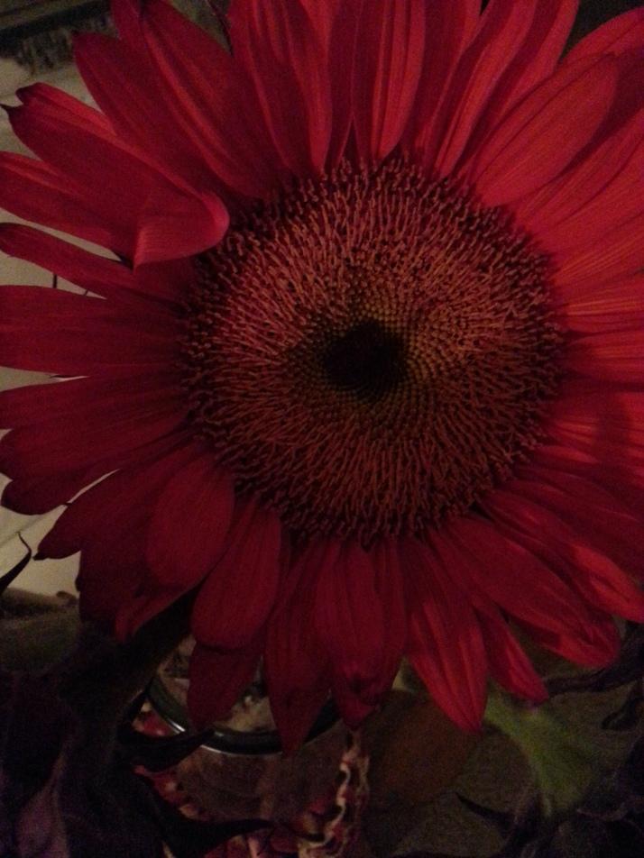 red sunflower closeup_2013